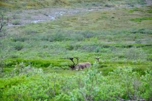 Summer in Alaska is lush green