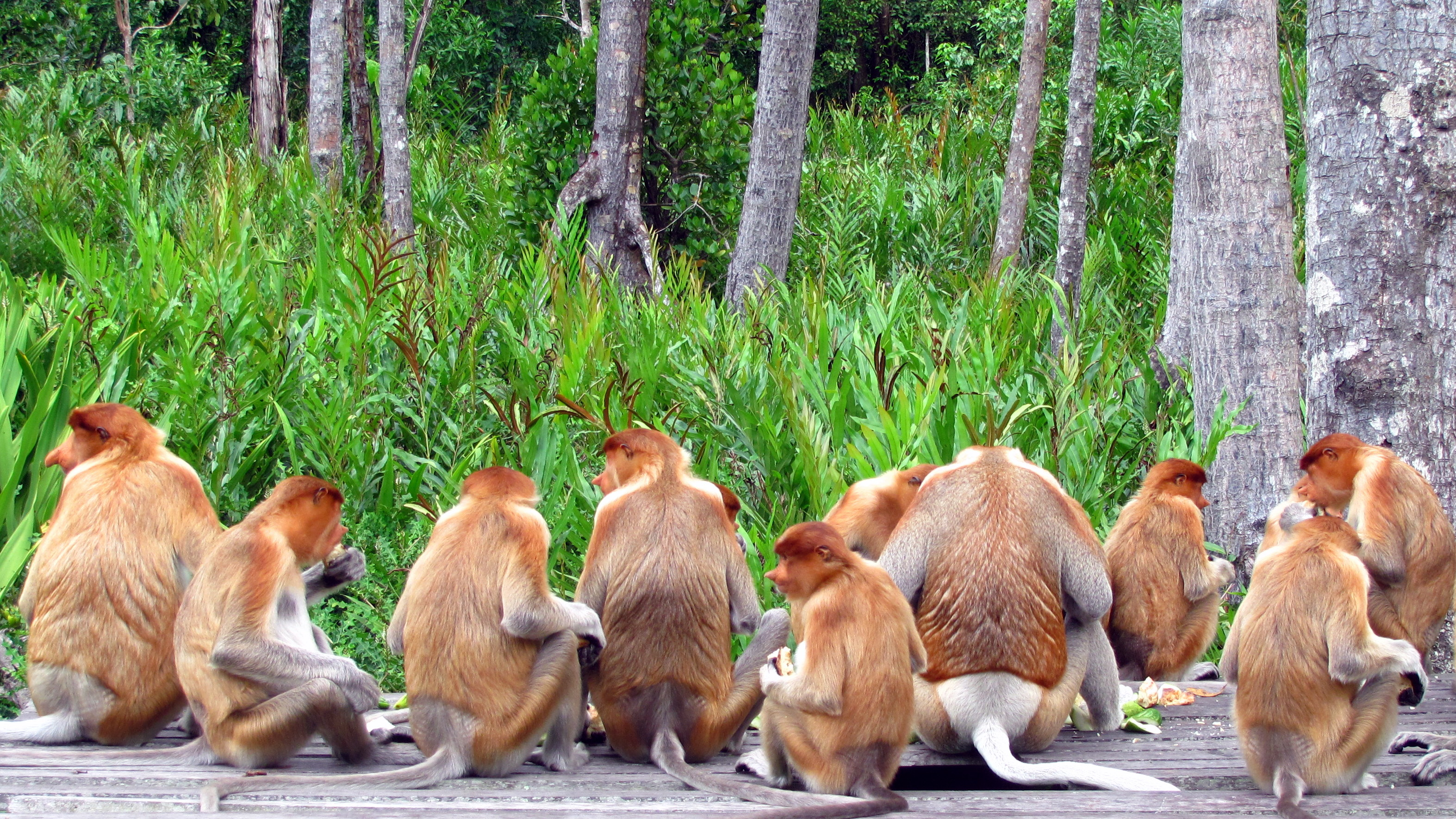 Proboscis monkeys in Labuk bay