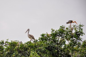 Spot billed pelicans