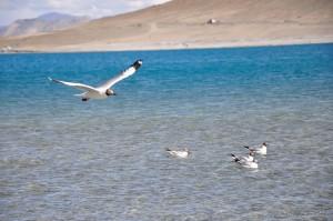 Brown headed gulls