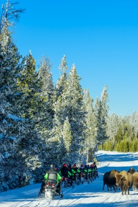 Snowmobile group passing by a herd of bisons